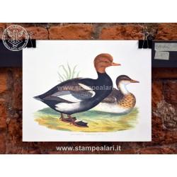 anatra 1 [:en] - ducks[:]