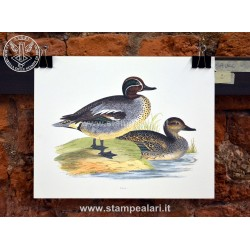 Anatra Alzavola [:en]- ducks[:]