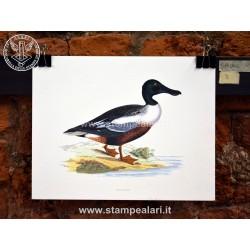 Anatra Spatolone [:en] - ducks[:]