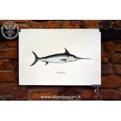 Pesce spada [:en]- fishes[:]