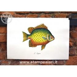 pesci LPESC27