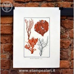 Coralli LCORAC13